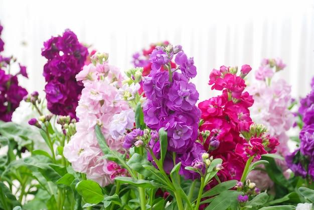Matthiola incana flor, estoque de flores, flores cortadas no berçário