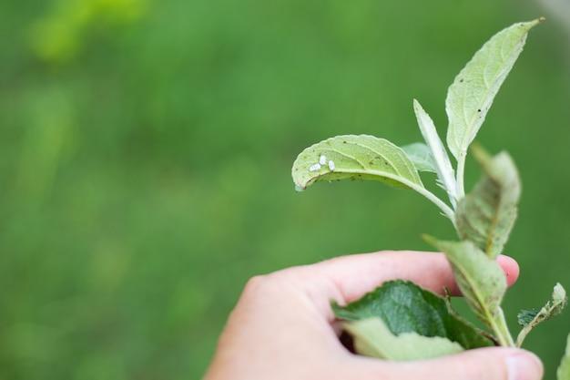 Mealybug e pulgões em uma folha verde de uma árvore frutífera no jardim. controle de pragas e cuidados com as plantas. copie o espaço.