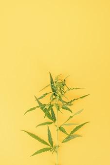 Medicina alternativa. planta de cannabis em um fundo amarelo. erva daninha médica. copie o espaço