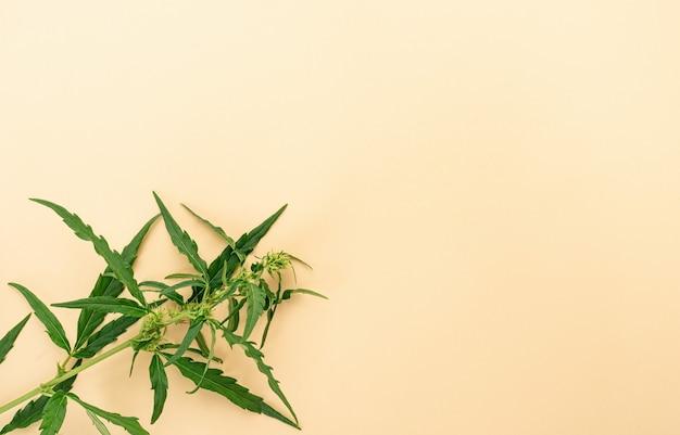 Medicina alternativa. planta de cannabis em um fundo bege. erva daninha médica. copie o espaço