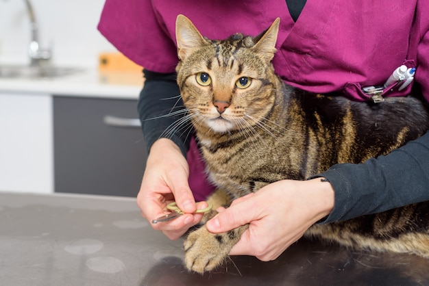 Médico veterinário aparando as unhas de um gato fofo