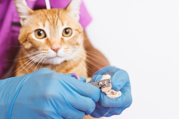 Médico veterinário aparando as unhas do gato. conceito veterinário.
