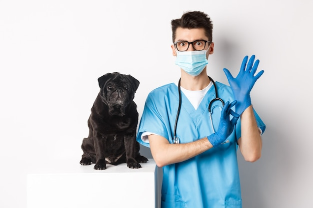 Médico veterinário bonito na clínica veterinária calçou luvas e máscara médica, examinando o cãozinho fofo pug, branco.