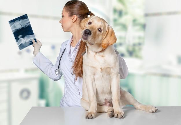 Médico veterinário com o cão jack russell terrier está examinando o raio-x de um cão na clínica veterinária