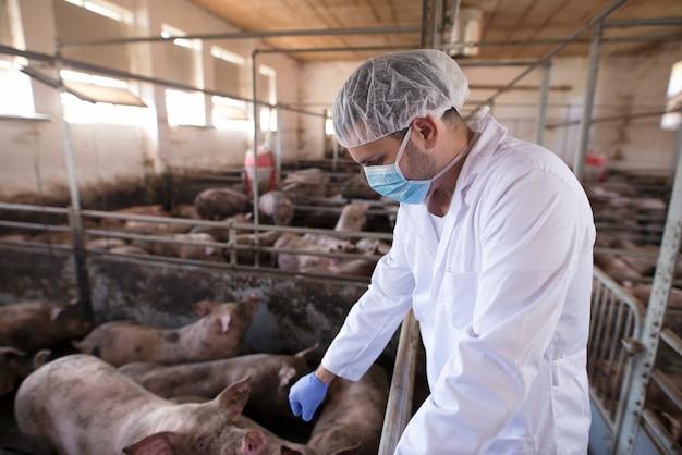 Médico veterinário controlando porcos em fazenda de porcos
