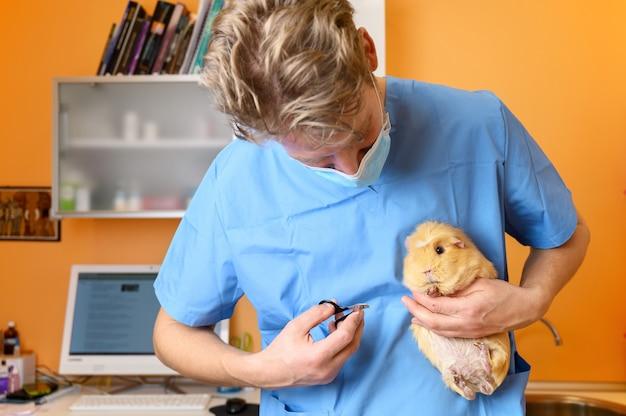 Médico veterinário cortando unhas de uma cobaia