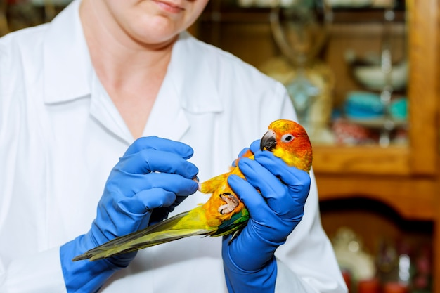 Médico veterinário está fazendo um check-up de um papagaio. veterinário