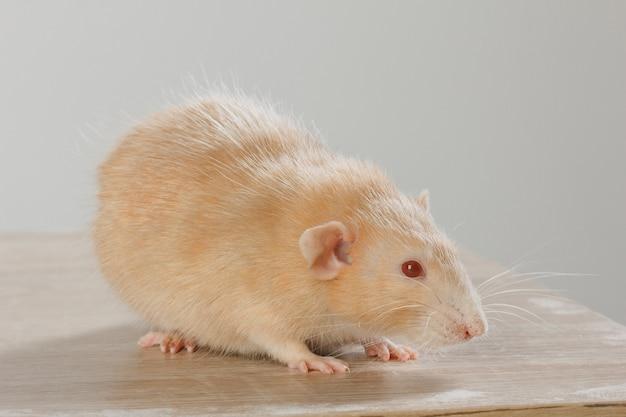 Médico veterinário está fazendo um check-up de um ratinho pequeno na clínica.