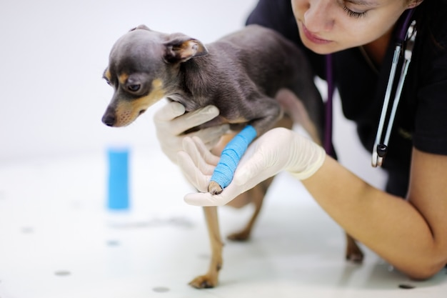 Médico veterinário feminino durante o exame em clínica veterinária. cachorrinho com a perna quebrada na clínica veterinária
