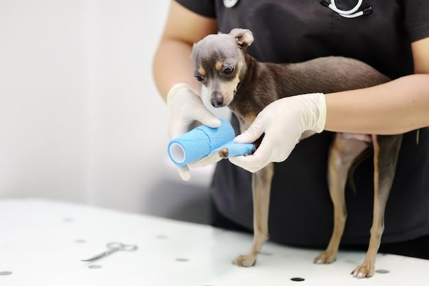 Médico veterinário feminino durante o exame em clínica veterinária
