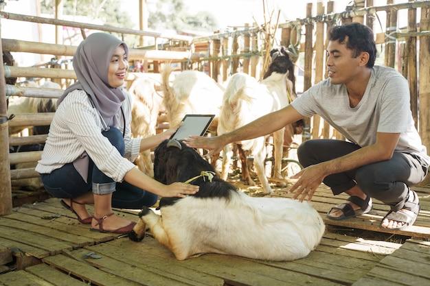 Médico veterinário muçulmano asiático verifica animal de fazenda. médico verifique a saúde da cabra