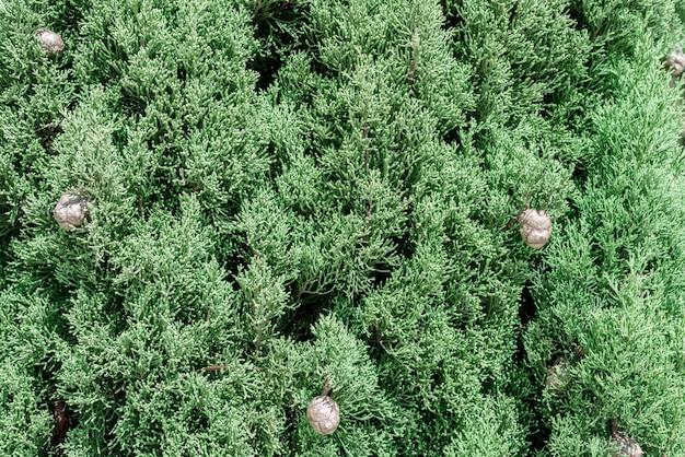 Mediterrâneo, cypress, foliage, cones