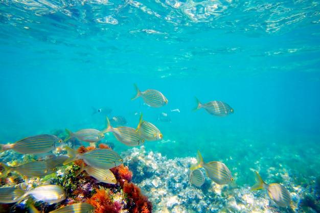 Mediterrâneo subaquático com escola de peixe salema