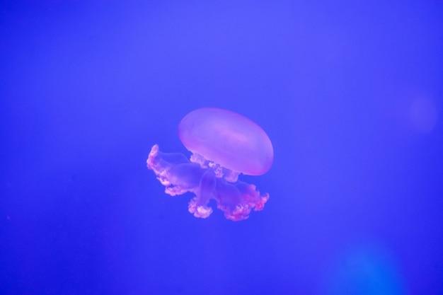 Medusa em aquário