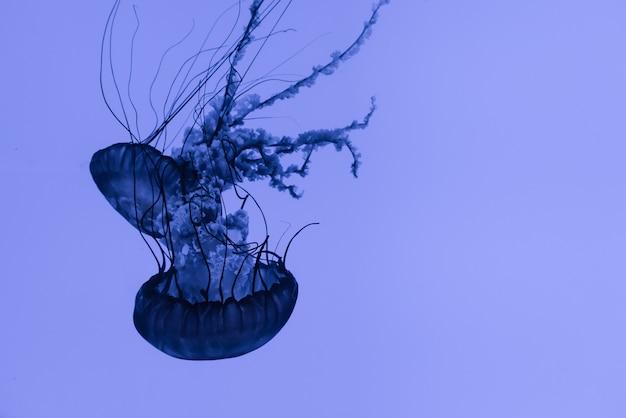Medusa no acuário toronto canadá