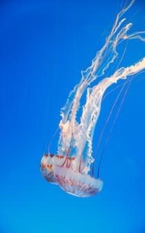 Medusa no aquário. água-viva listrada branca.