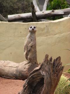Meerkat, de madeira.
