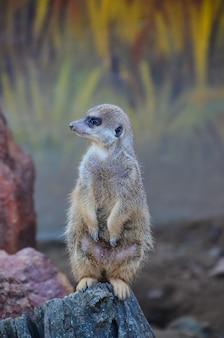 Meerkat em pé sobre uma rocha