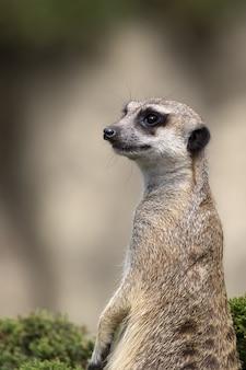 Meerkat em um arbusto verde, um retrato