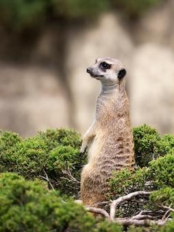 Meerkat em um arbusto verde