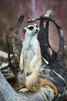 Meerkat observa os perigos iminentes.