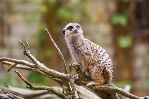 Meerkat, suricata suricatta, sentado em uma árvore
