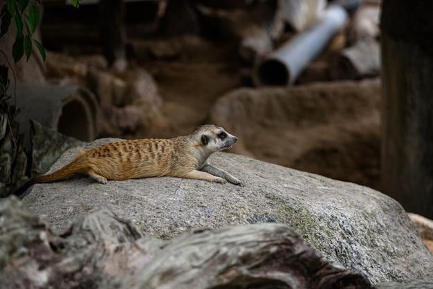 Meerkat, suricata suricatta vivendo no chão