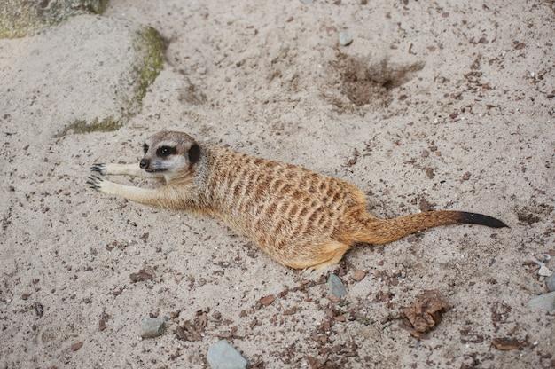 Meerkat suricate ou suricata suricatta. carnívoro pequeno pertencente à família dos mangustos - herpestidae. animal fofo nativo africano. bonito olhar complicado.