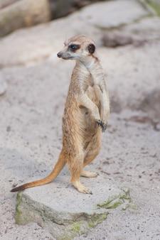 Meerkat suricate ou suricata suricatta olha para fora. carnívoro pequeno pertencente à família dos mangustos - herpestidae. animal fofo nativo africano.