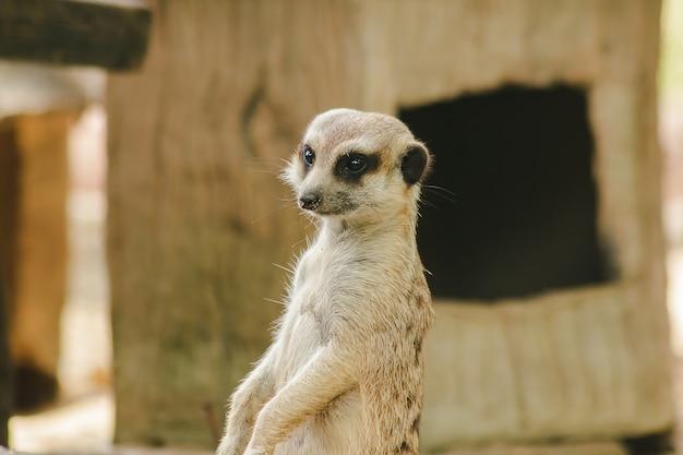 Meerkat tem um tamanho corporal pequeno. é um mamífero