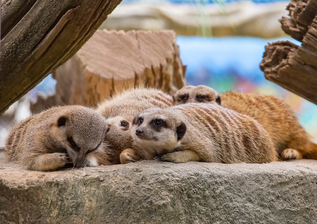 Meerkats de cauda delgada