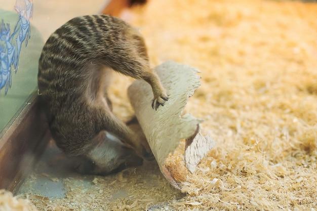 Meerkats no zoológico. suricate