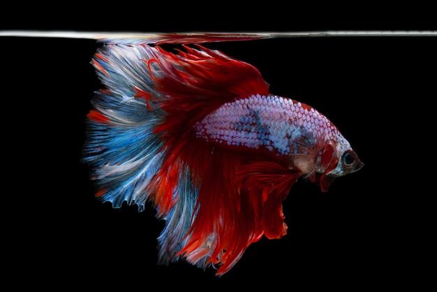 Meia lua betta fish
