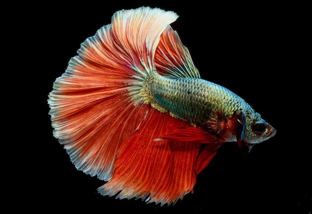 Meia lua betta peixe, peixe-lutador-siamês, captura em movimento de peixe, betta splendens