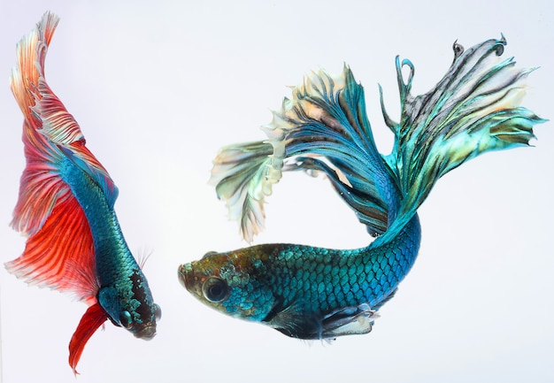 Meia lua betta peixe, peixe-lutador-siamês, capturar movimento de peixe, betta splendens