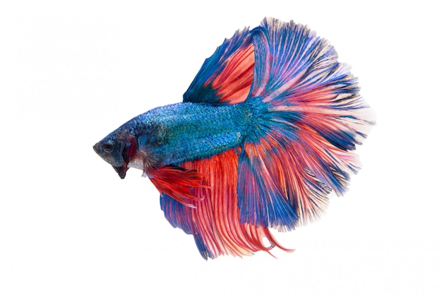 Meia-lua fantasia betta fish
