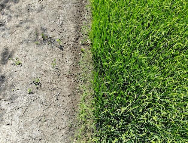 Meio campo verde do arroz com o passadiço na agricultura do país de tailândia