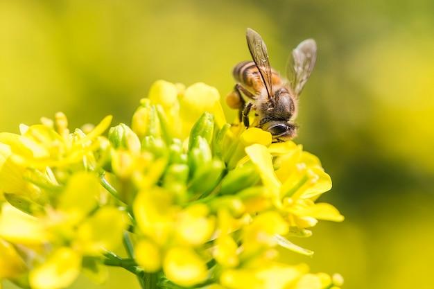 Mel abelha coletando pólen na flor de canola