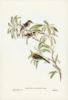 Mel-comedor de fulvos (glyciphila fulvifrons) ilustrado por elizabeth gould