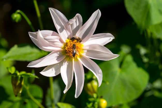 Mel de abelhas coletando pólen da flor branca do cosmos com a luz do sol.