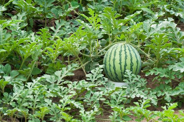 Melancia na plantação de melancia verde no verão, campo de melancia agrícola