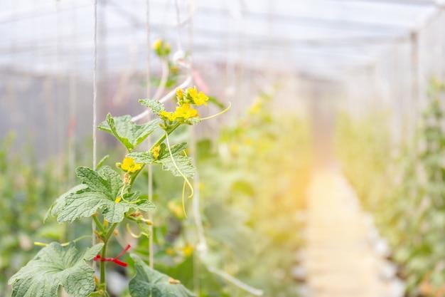Melão cantaloupe, plantas, crescendo, em, filme, estufas, fazenda