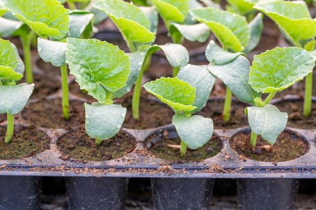 Melão verde crescendo a partir de sementes.