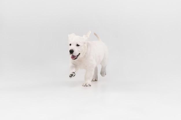 Melhor amiga. golden retriever de creme inglês jogando. bichinho brincalhão fofo ou animal de estimação de raça pura parece fofo isolado na parede branca. conceito de movimento, ação, movimento, amor de cães e animais de estimação. copyspace.