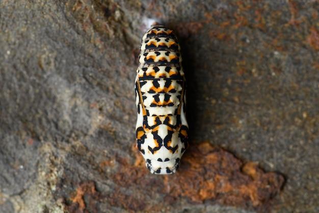 Melitaea chrysalis em parede de pedra