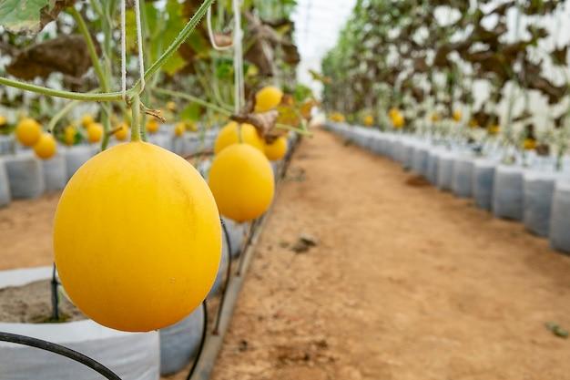 Melões na fazenda com efeito de estufa