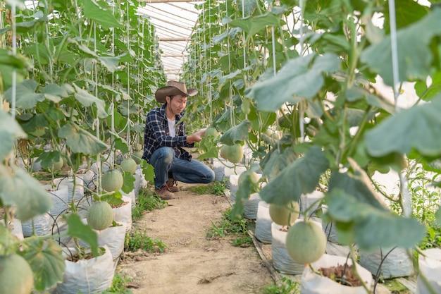 Melões no jardim, homem de yong que guarda o melão na exploração agrícola do melão da estufa.