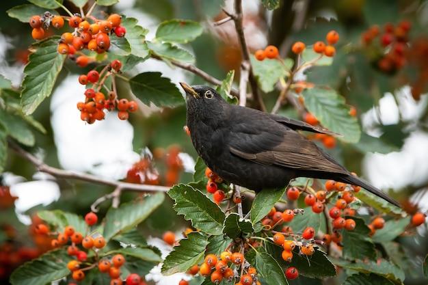 Melro comum alimentando-se de rowan na natureza do outono.