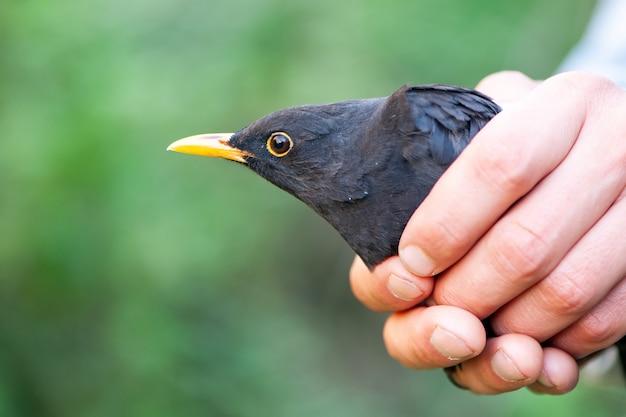 Melro euro-asiático masculino (turdus merula). pássaro nas mãos do homem