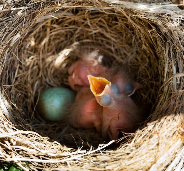 Melros de bebê no ninho